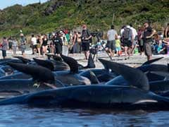 No Fresh Whale Strandings Seen In New Zealand