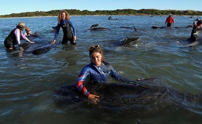 New Zealand Beached Whales Back In Sea