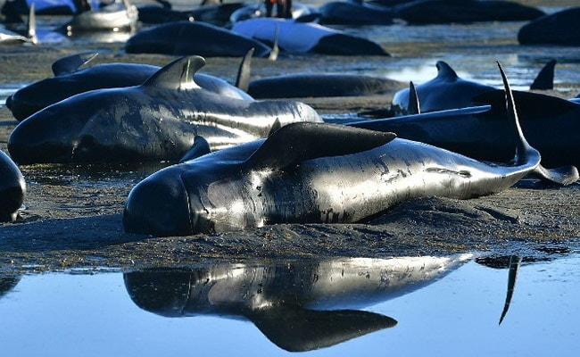 stranded whales new zealand afp