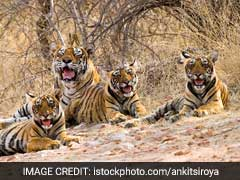Five Tiger Cubs Born In Madhya Pradesh's Panna Tiger Reserve