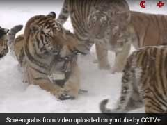 A Disturbing Reality Behind A Chinese Tiger Drone Video