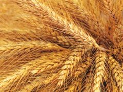 Over 125 Lakh MT Wheat Procured In Punjab So Far In Ongoing Rabi Season