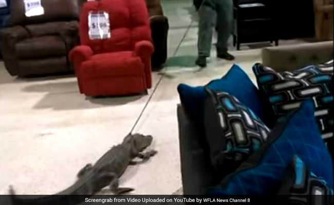 Watch: Alligator Dragged Out Of A Store In Florida Like It's No Big Deal