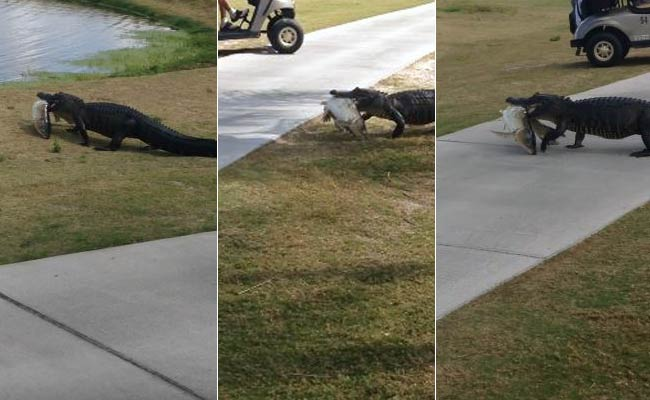 Alligator Strolls Across Florida Golf Course With Giant Fish In Its Mouth
