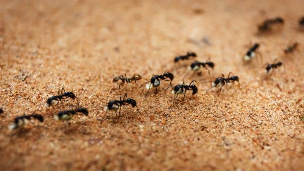 How to Get Rid of Ants: 8 Home Remedies That Do the Trick - NDTV Food