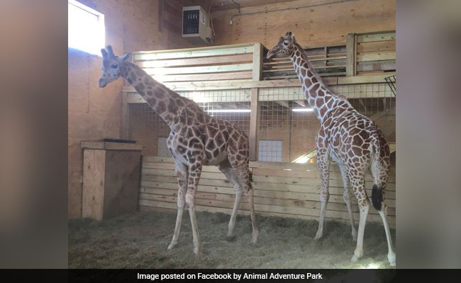 'The World Waits On Edge' As April, The Pregnant Giraffe Becomes Live-Stream Sensation