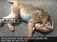 Video Of Grief-Stricken Baby Monkey Weeping Over Dead Mother Goes Viral