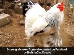 A Video Of A Really Big Chicken Is Going Viral And It's Terrifying