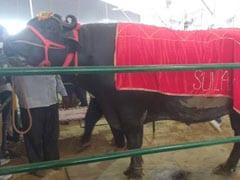 भैंसा 'सुल्तान' के शौक हैं नवाबी: रोज चाहिए शराब-दूध और सेब,  हर साल कमाता है 90 लाख रुपए