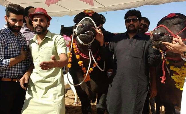 bull sultan