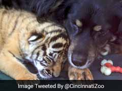 3 Abandoned Tiger Cubs Have Finally Been Adopted - By A Dog. Watch The Video