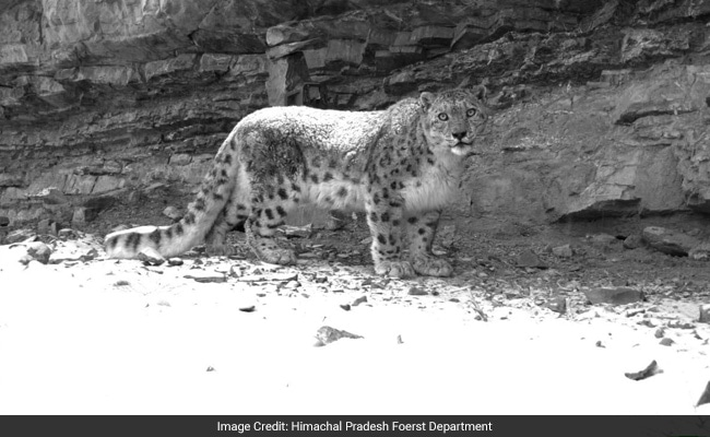 Before Departing, This Wildcat Fed On Vegetarian Food And Good Wishes Of Locals