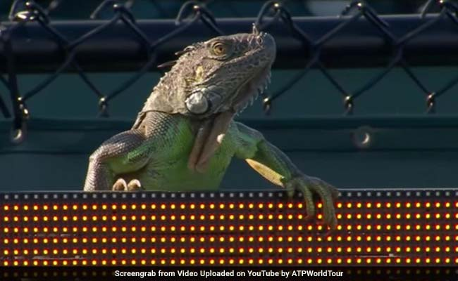 Giant Iguana Interrupts Miami Open Tennis Match, The Internet Goes Wild