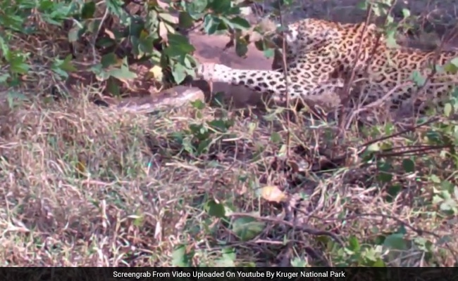 Caught On Camera: Giant Python Fights It Out With Leopard And Her Cub