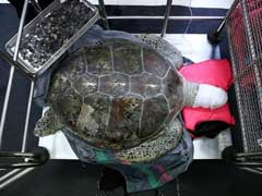 Thai 'Piggy Bank' Turtle Slips Into Coma After Operation To Remove Coins