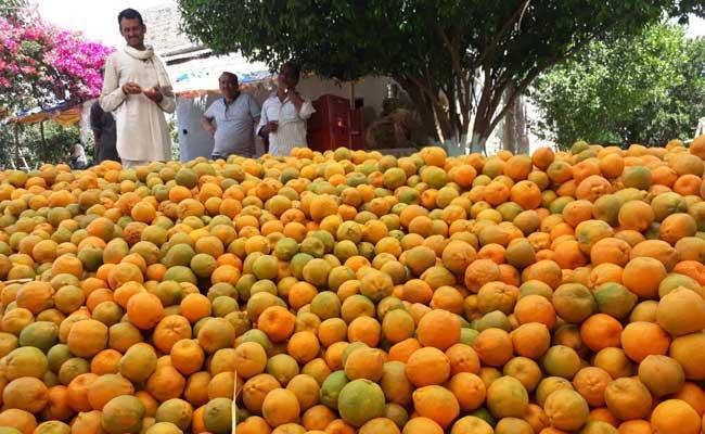 मध्यप्रदेश : संतरे की बंपर पैदावार बनी मुसीबत, पांच रुपये किलो का भी नहीं मिल रहा भाव