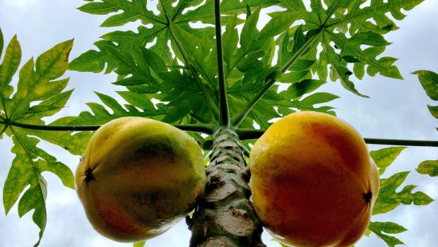 9 Incredible Benefits of Papaya Leaf Juice