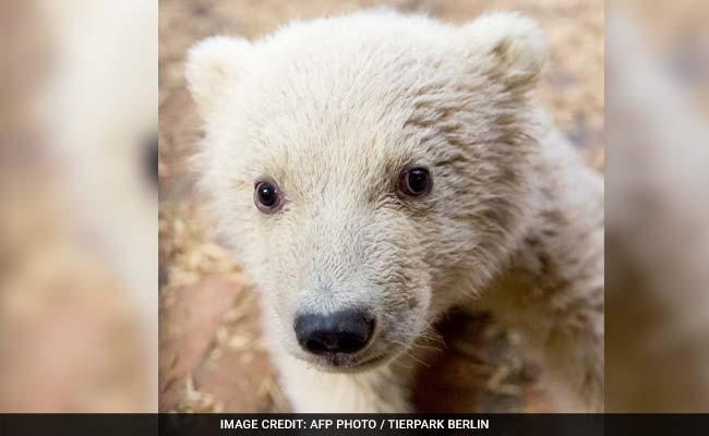 polar bear cub fritz