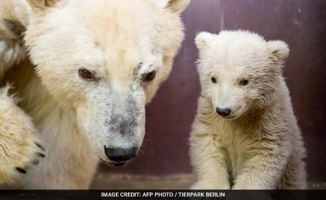 Berlin's Four-Month-Old Polar Bear Cub Fritz, Dies