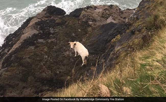 Pregnant Cow Falls Off 40-Foot Cliff, Then Swims To Safety In Miraculous Escape