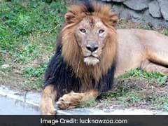 Mutton, Chicken For UP Zoo Lions After Buffalo Meat Shortage