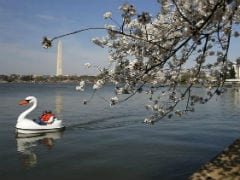 Washington's Premier Cherry Blossoms Hammered By Cold