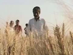 Deadly Wheat Disease Enters India Through Porous Bangladesh Border