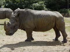 White Rhino Shot, Horns Sawn Off By Poachers At French Zoo