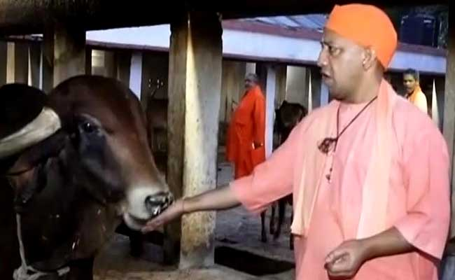 yogi adityanath feeding cow