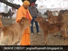 UP Chief Minister Yogi Adityanath's Cows To Follow Him To His New Home
