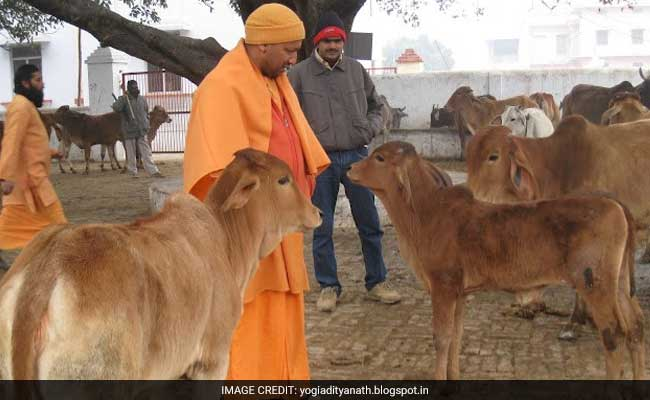 Chief Minister Yogi Adityanath's Cows To Follow Him To His New Home