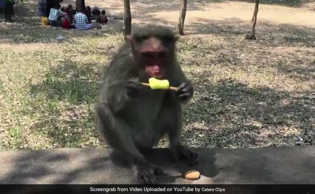 अदरक और अंगूर भूल जाइए, आजकल आइसक्रीम खा रहे हैं बंदर और लंगूर...
