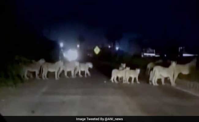 Watch: When A Dozen Lions Halted Traffic On A Highway In Gujarat