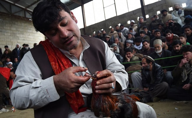 Cockfighting In Kabul: Once-Banned Bloodsport Takes Wing