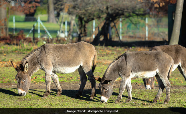 Pakistan's Planned New Export To China: Donkeys