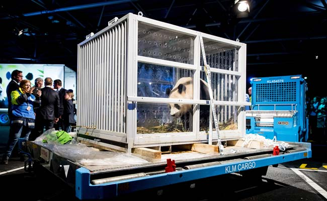 Dutch Panda Mania As Giant Bears Arrive From China