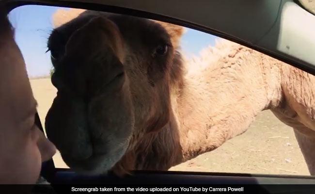 वायरल वीडियो : जब कार में घुसकर ऊंट ने खा लिया महिला का भोजन - हंसी नहीं रोक पाएंगे आप