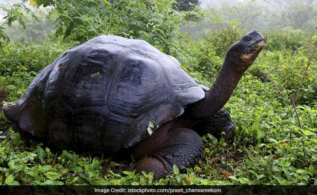 Endangered Galapagos Tortoises Saved From Suspected Traffickers