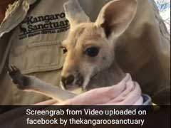 Video: Orphaned Baby Kangaroo Jumps Into New Cloth Pouch, Loves It