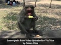 Monkey And Langur Eat Ice Cream To Beat The Heat In Adorable Video