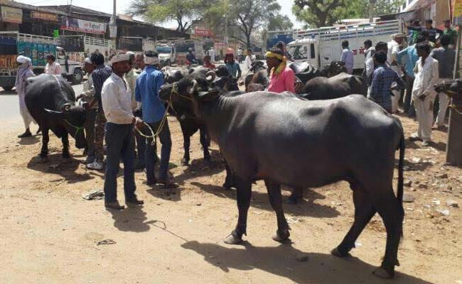 13 Online Comments Backed It, Say Sources Defending New Cattle Trade Ban