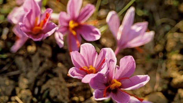 saffron 620x350