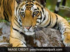 Decomposed Carcass Of Tigress Found In Pench Reserve In Maharashtra