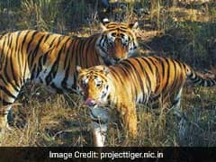 """Tiger State"" Madhya Pradesh Lost 290 Tigers Since 2002: Forest Official"