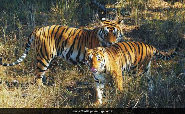 In A First, Tiger Faeces Being Collected To Estimate Population
