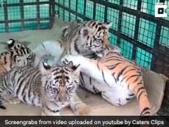 Adorable Video Of Orphaned Tiger Cubs Playing With Toy Mum At Bandhavgarh