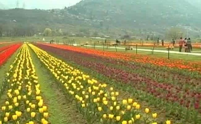 Asia's Largest Tulip Garden Opens For Tourists In Jammu and Kashmir's Srinagar
