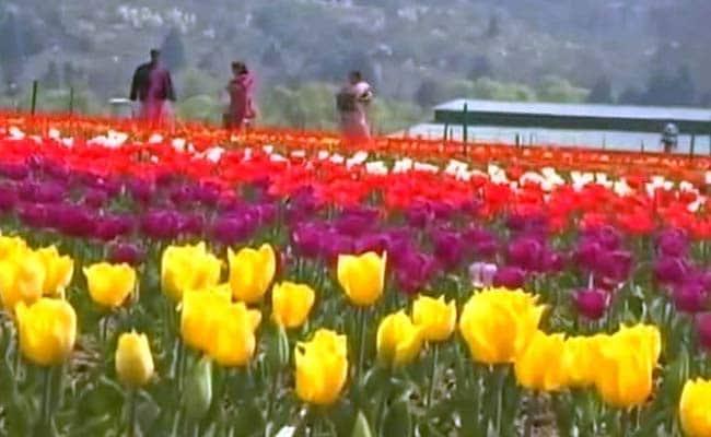 tulipsq