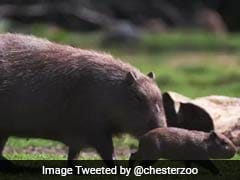 World's Largest Rodent Gives Birth In British Zoo