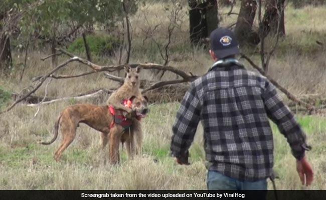 कुत्ते को बचाने के लिए जब इस इंसान ने जड़ दिया कंगारू को तमाचा, देखिए Viral हो रहा वीडियो